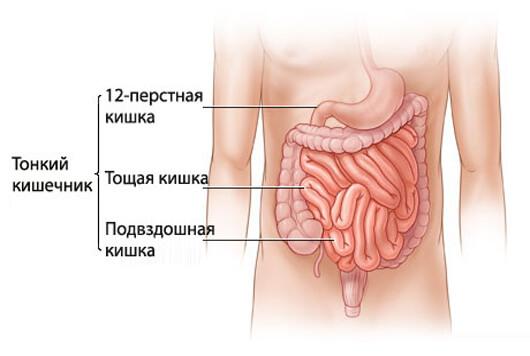 Тонкий кишечник, строение